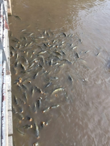Crossing the bridge on the lake and some hungry fish