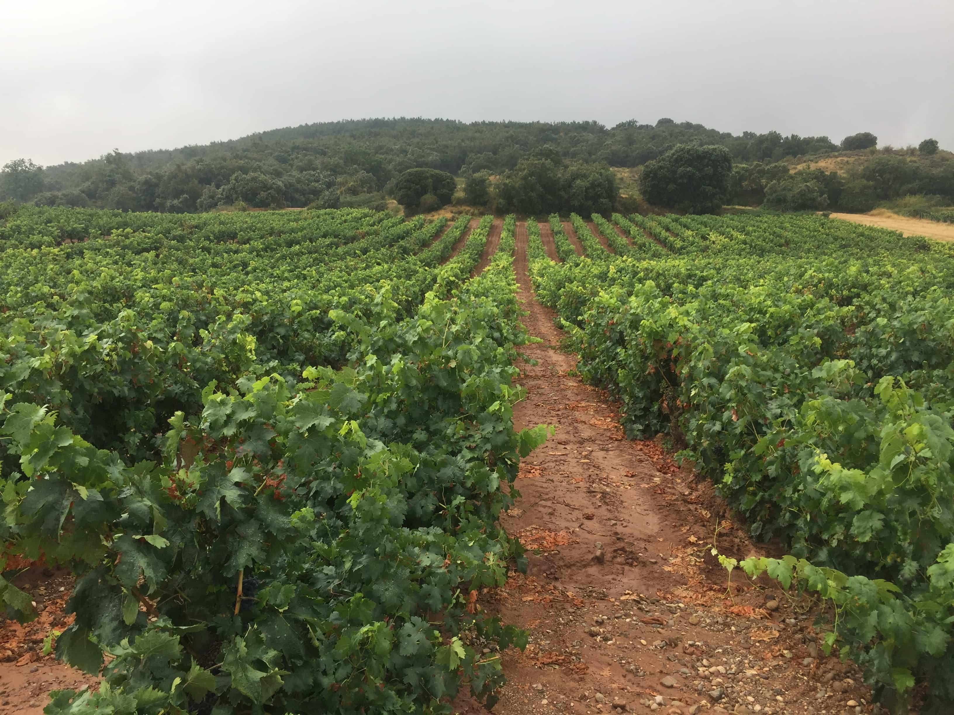 Refreshing rain in the vineyards