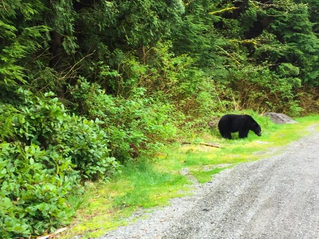Black bear on side of road leaving Tofino