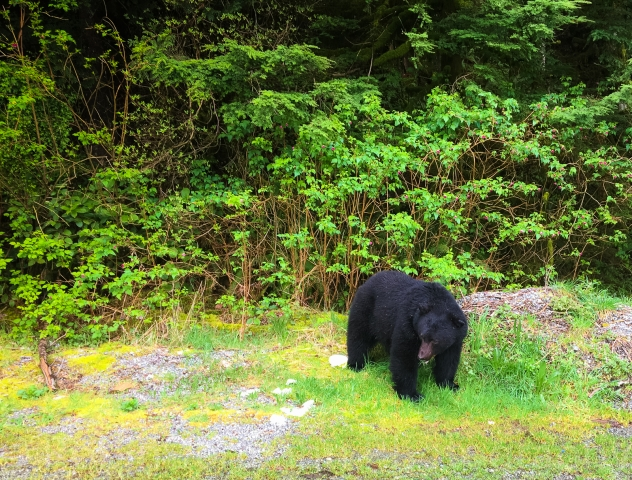 Black bear on side of road leaving Tofino