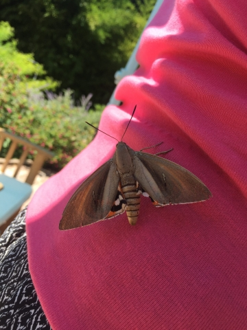 Massive Moth