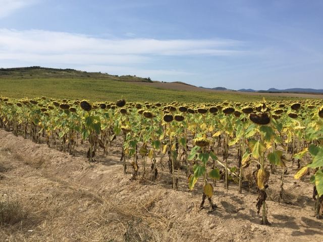 Sunflowers everywhere