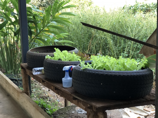 growing lettuce in tires