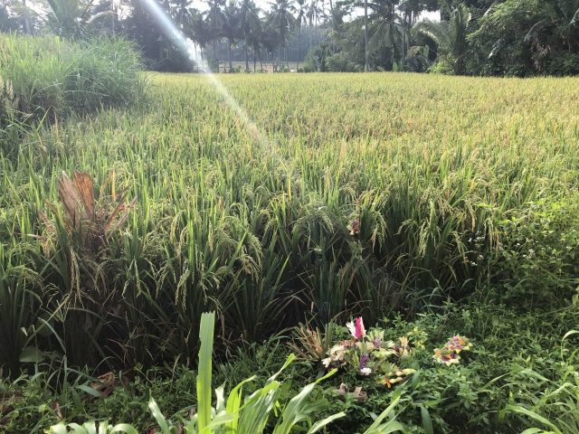 The rice paddy behind our room