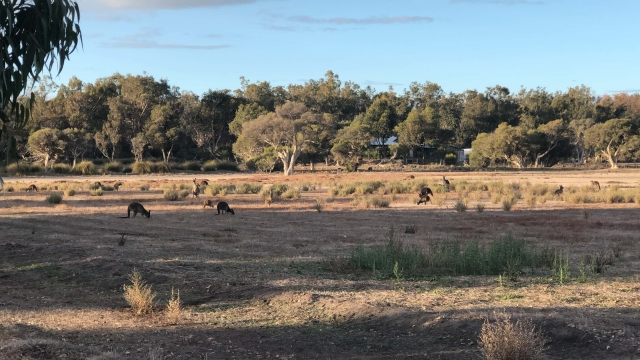 A field of over 50 kangaroos