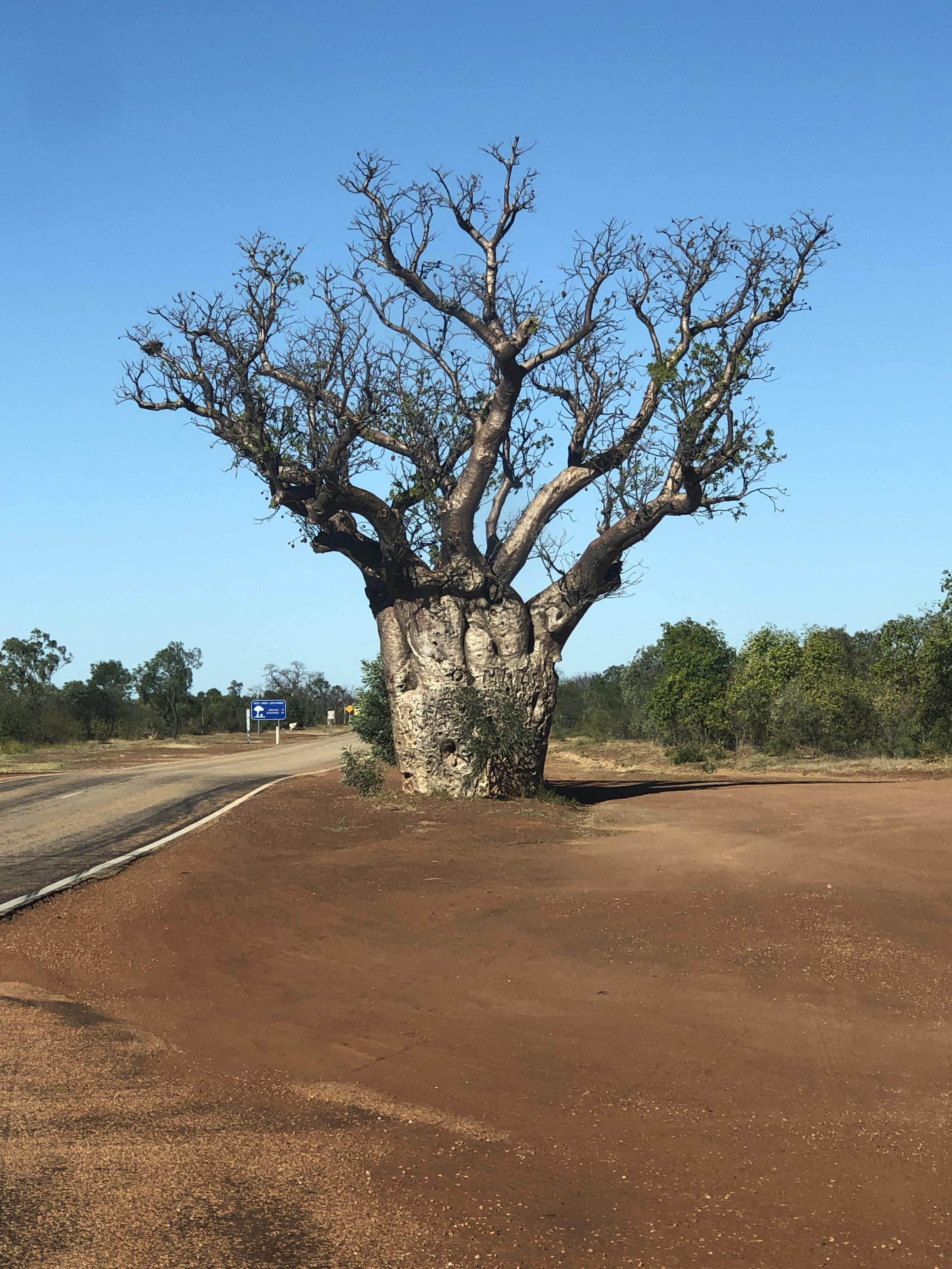 Massive boab tree
