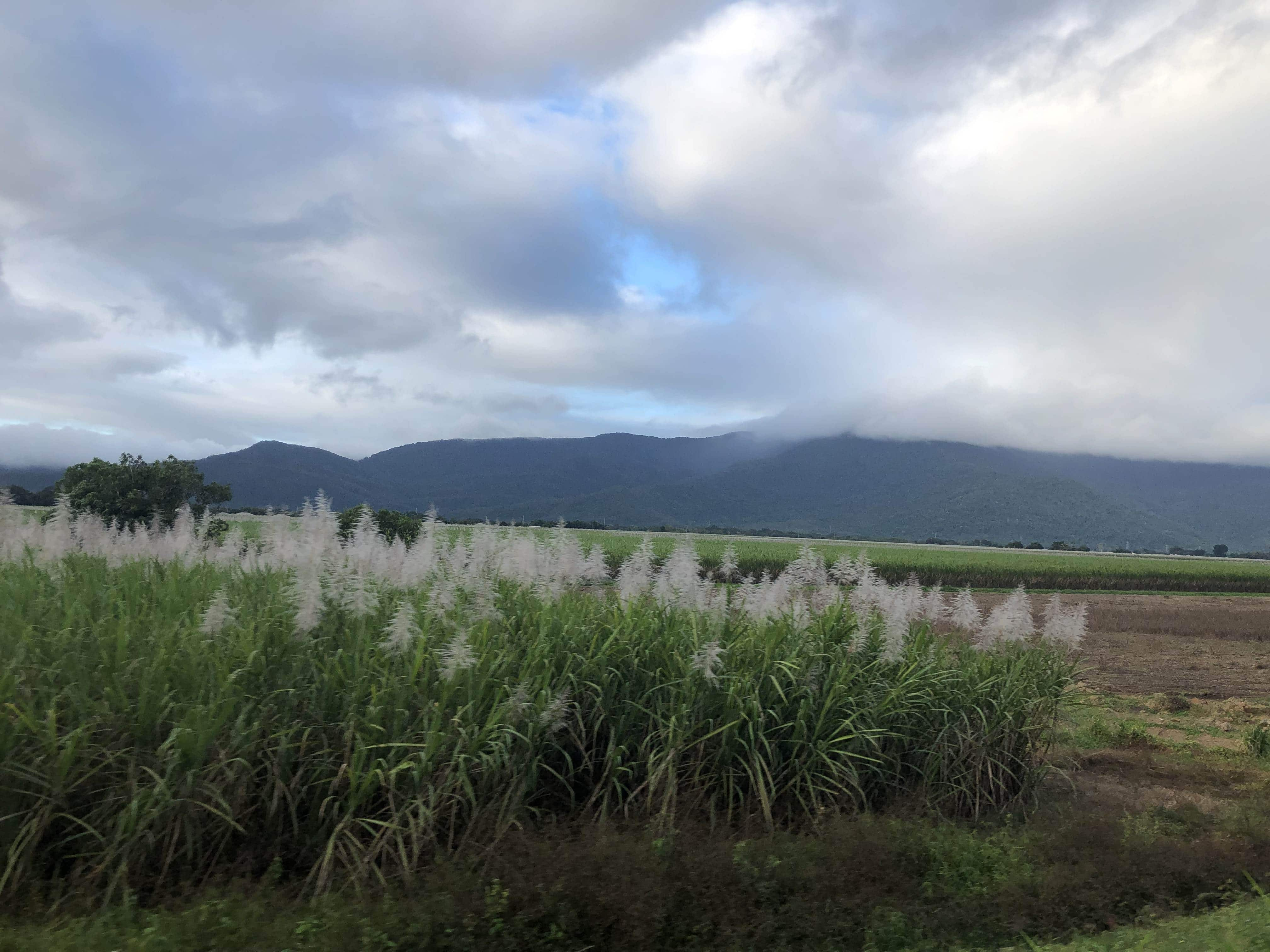 Sugar cane against the jungle background
