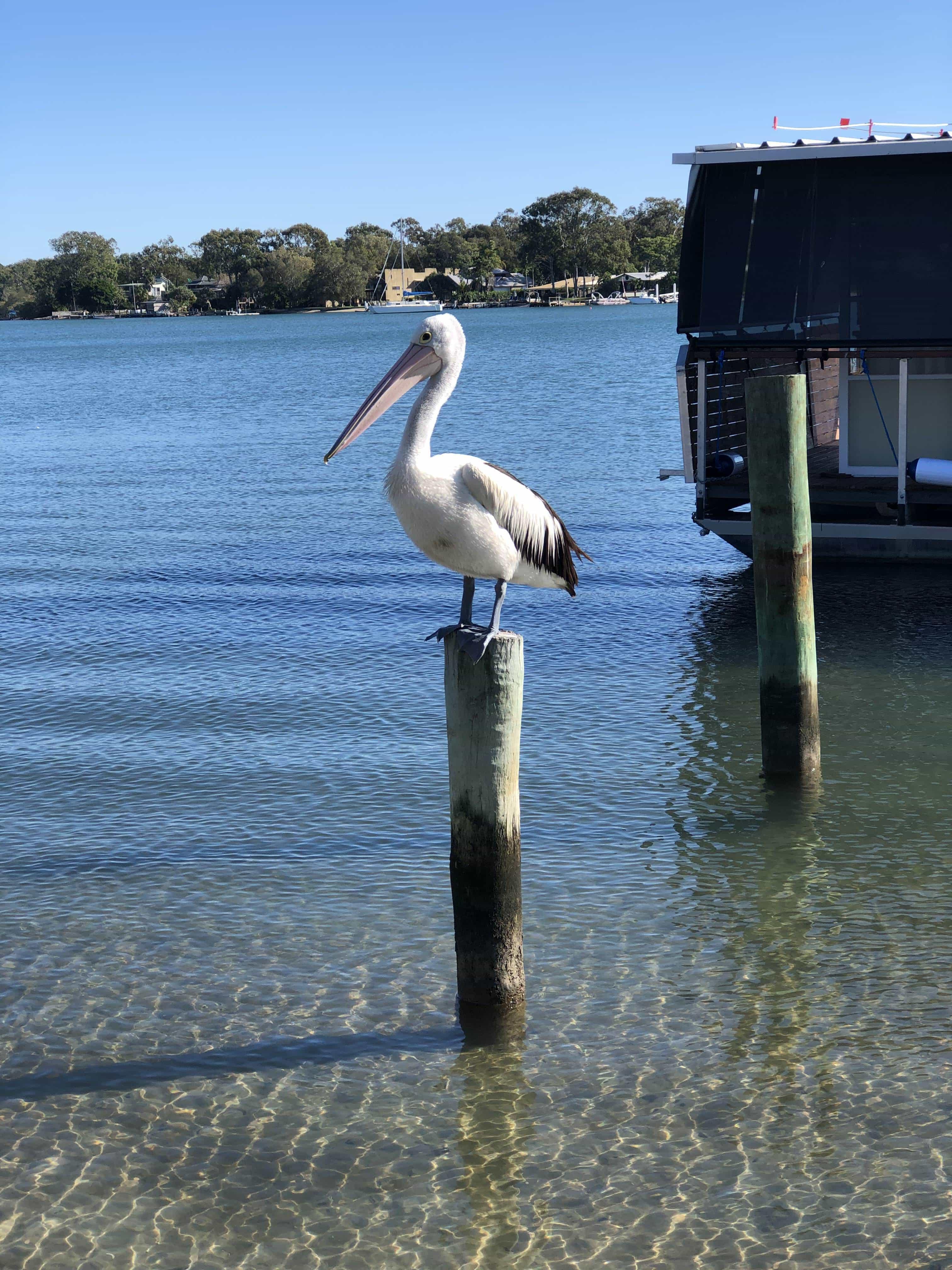 Pelican in Noosa