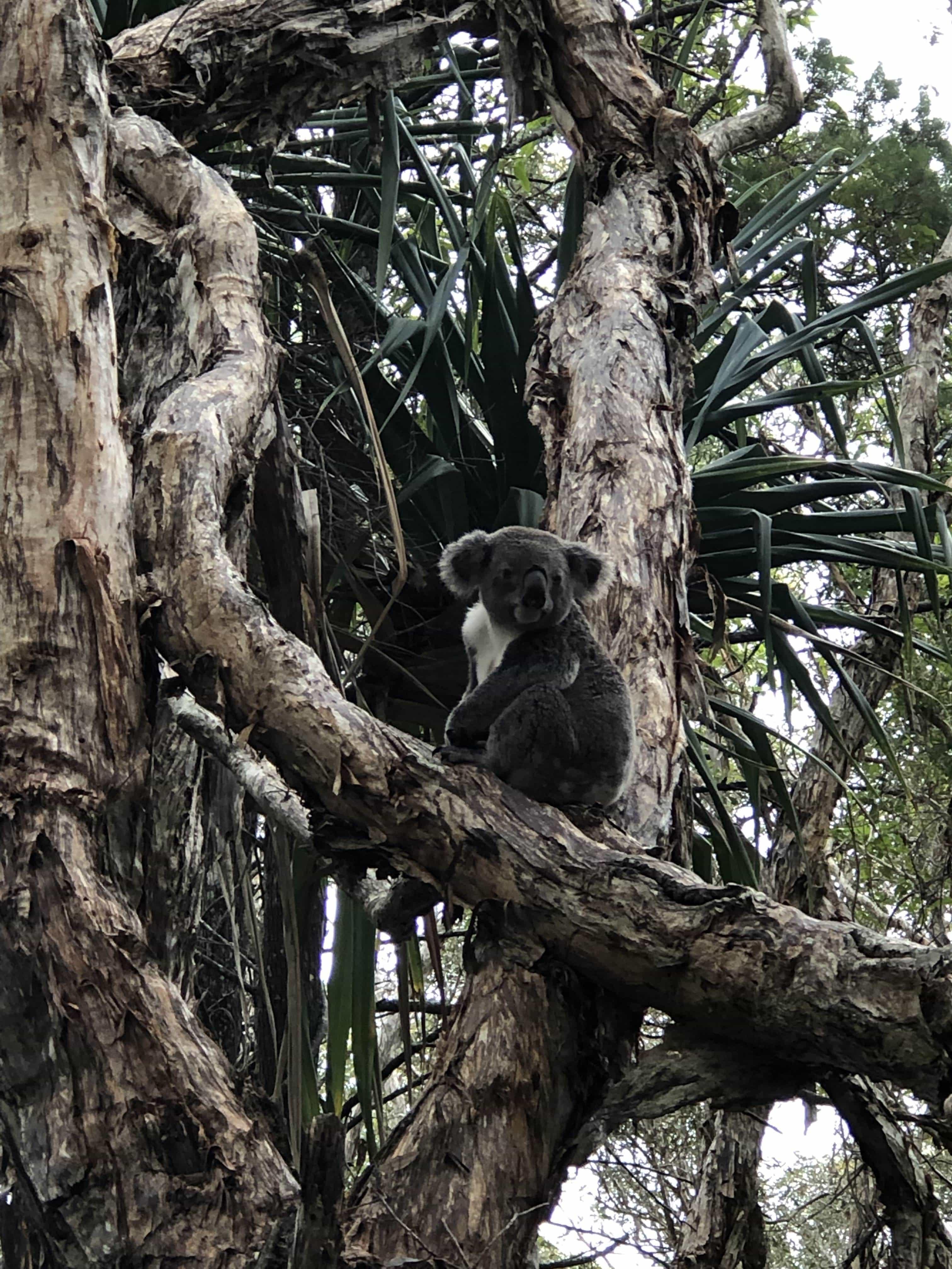 Koala in the wild!